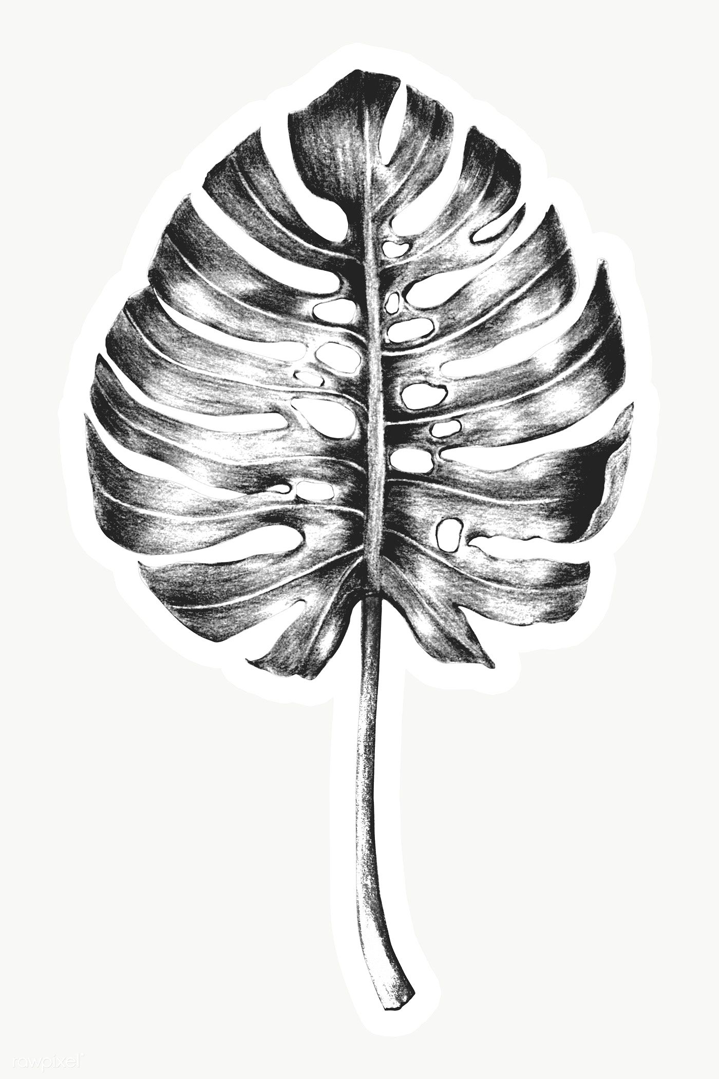 Black And White Hand Colored Monstera Leaf Sticker Overlay With White Border Free Image By Rawpixel Com Leaf Illustration Monstera Leaf Free Illustrations