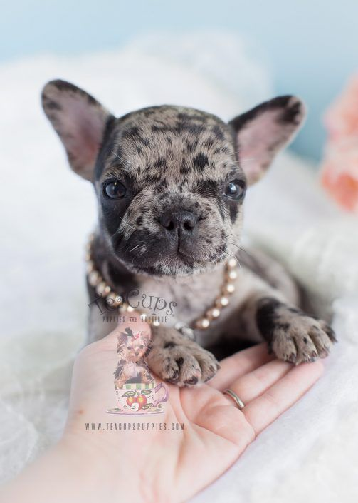 Merle Frenchie Puppy By Teacupspuppies Com French Bulldog