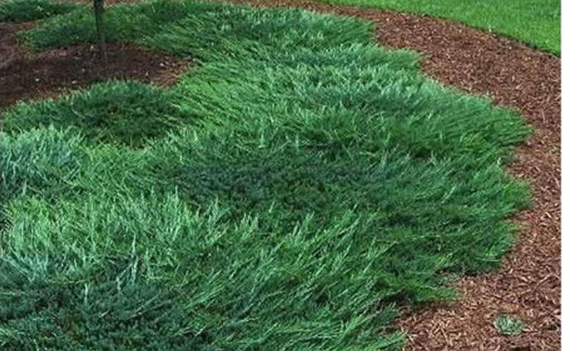 Bar Harbor Juniper Is A Dense Mat Forming Evergreen