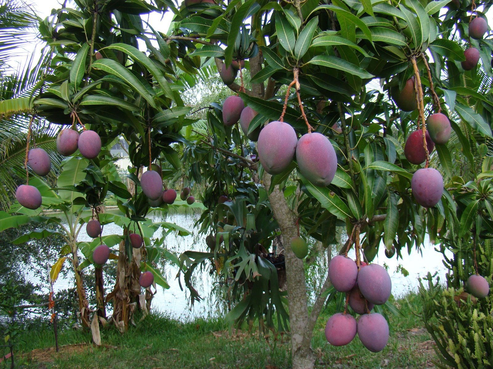 Mango Trees Are So Heavy With Fruit Everywhere In May! On The Street, In