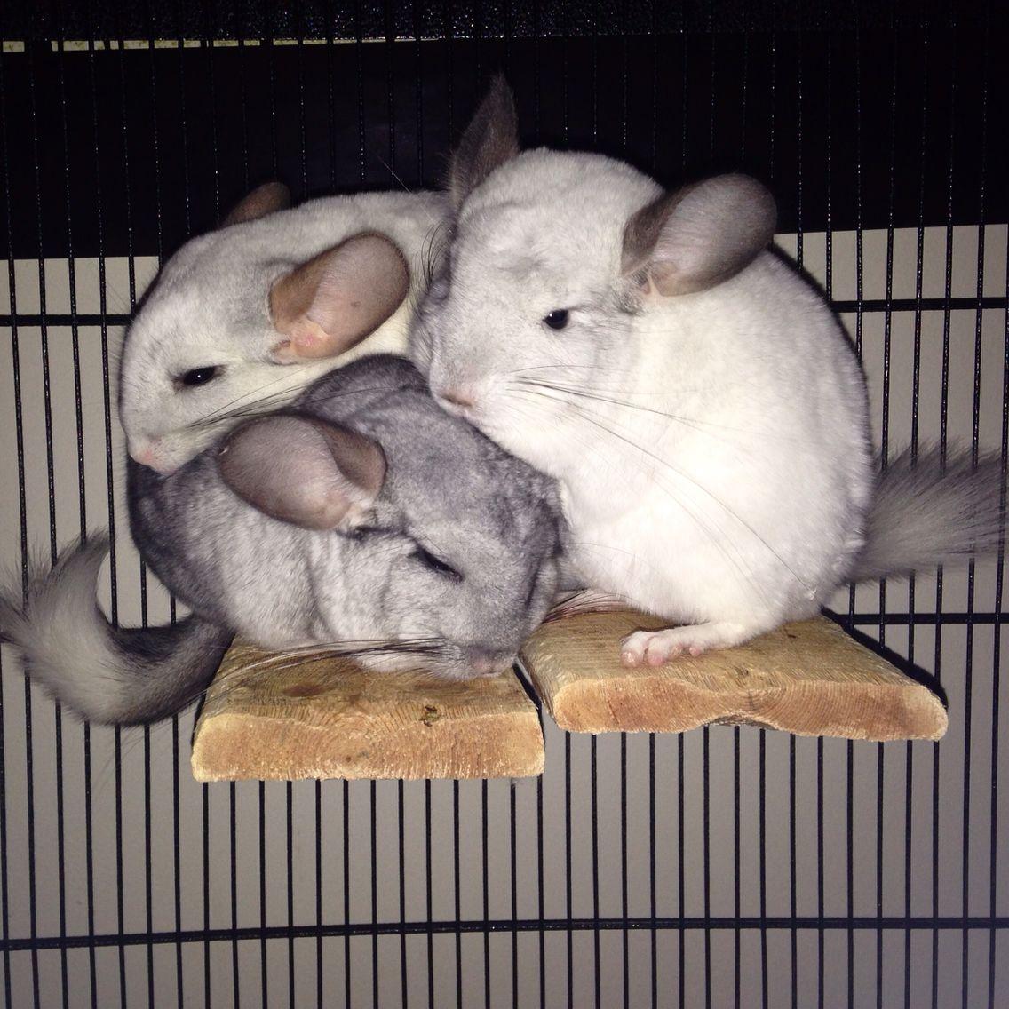 My Chinchillas In A Triple Cuddle Super Cute Animals Cute Little Animals Cute Animals