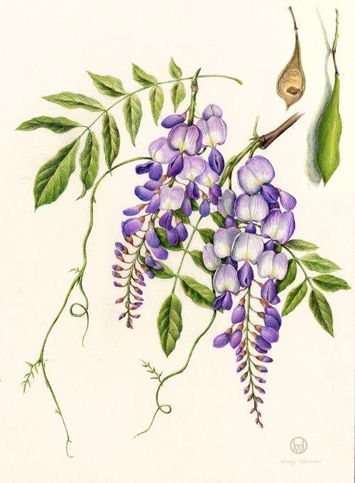 Wisteria Wisteria Sinensis Botanical Drawings Botanical Illustration Flower Art