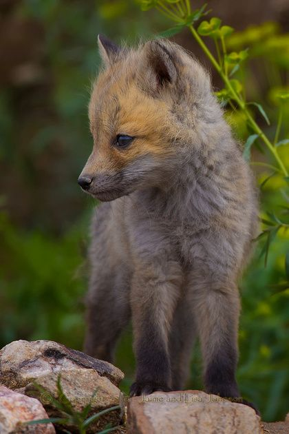Red Fox Cub by Jaime and Lisa Johnson