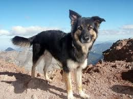 This Is A German Shepherd Border Collie Mix I Ve Always Wanted