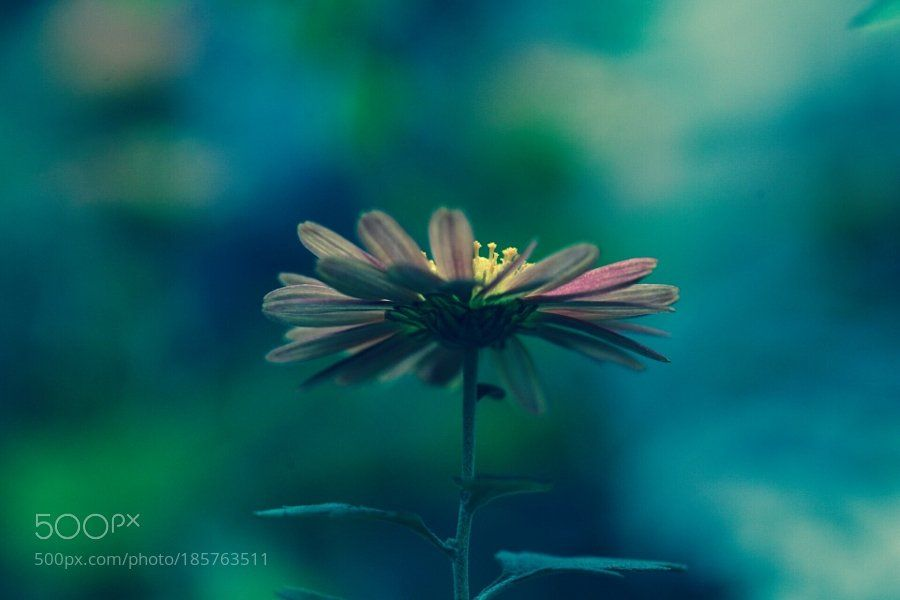#photography florists daisy by mitkvc8hlx https://t.co/yzFhjaeOec #followme #photography