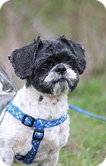 Williamsburg Ia Shih Tzu Meet Dylan A Dog For Adoption Http