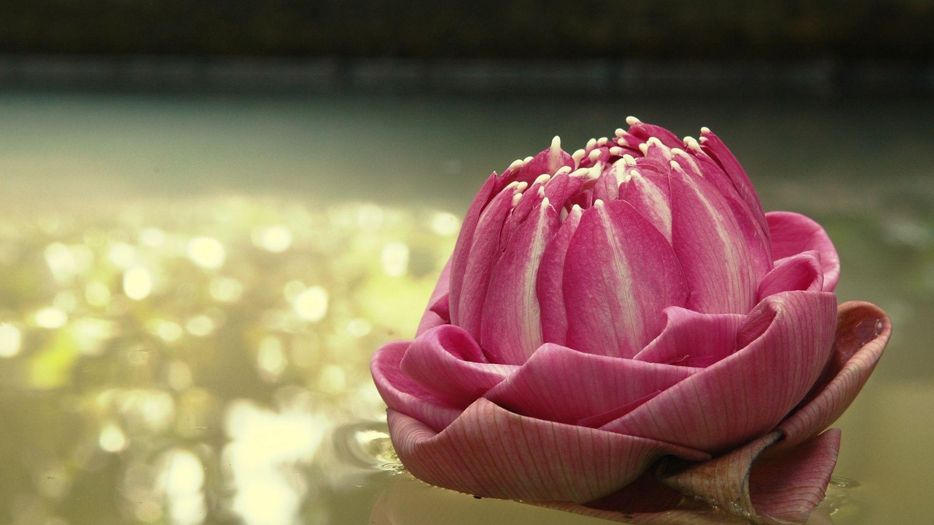 Pink Lotus wallpaper Lotus flower wallpaper, Flowers