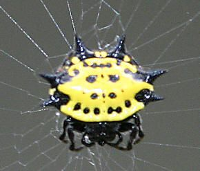 Black and Yellow Spiders - The Infinite Spider