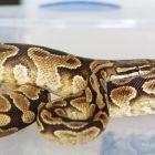 Giaus - Yellowbelly Male