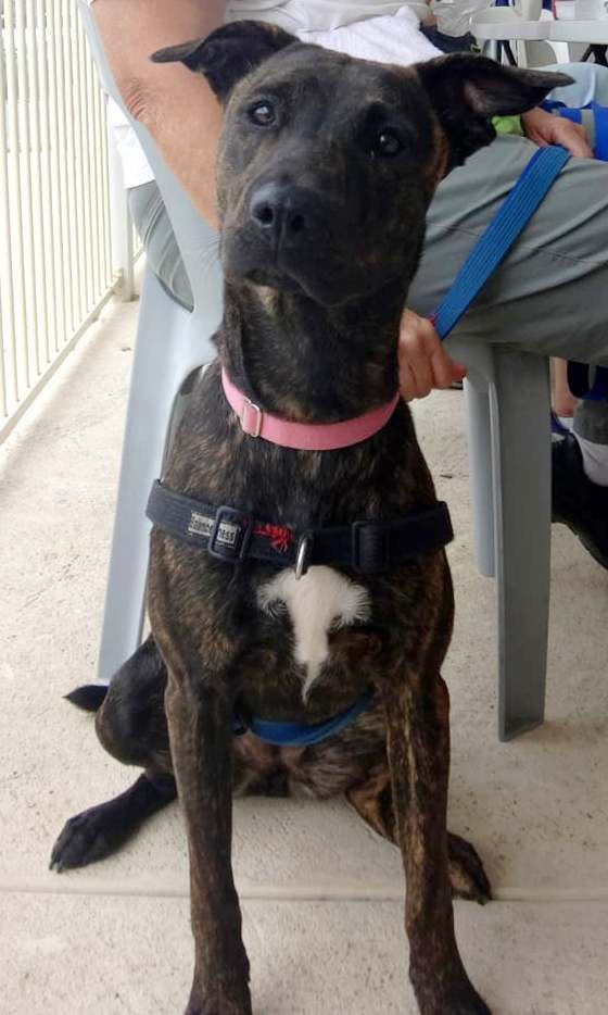 Alice ~ 8 months old female Kelpie X Whippet ~ adopted 4.4 ...