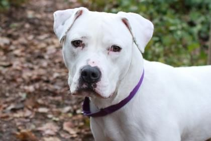 Meet Lulu, a 2-year-old Pit Bull Terrier, who would love to be your go-to girl. She's a sweet girl who loves a good long walk, and will happily lead you anywhere you want to go, wiggling all the way. She's also loves to lean up against her person & she'll trade lots of sweet kisses for a good tummy rub or ear scratch. She's sure to be a sweet and loyal member of your family. Lulu was ADOPTED! from Seattle Humane, April 2017