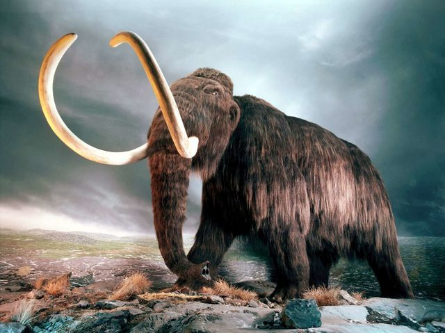 I got: Wooly Mammoth! What Extinct Animal Are You?