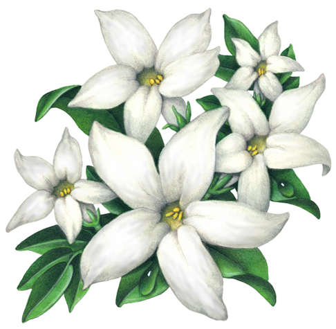 Medicinal Fragrance Herbs Stock Art Douglas Schneider