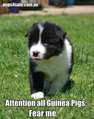 Border Collie Puppies For Sale Www Pups4sale Com Au Collie Puppies Collie Puppies For Sale Border Collie Puppies