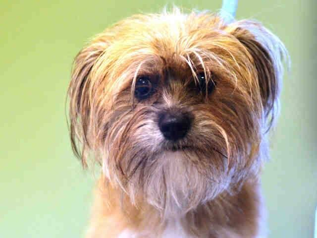 Manhattan Center   LILLY - A1016466  *** DOH HOLD 10/5/14 ***  SPAYED FEMALE, TAN / GRAY, SHIH TZU / JACK RUSS TERR, 1 yr OWNER SUR - EVALUATE, HOLD FOR DOH-HB Reason ATT PEOPLE  Intake condition EXAM REQ Intake Date 10/05/2014, From NY 11201, DueOut Date ,  https://www.facebook.com/Urgentdeathrowdogs/photos/pb.152876678058553.-2207520000.1412691857./881459335200280/?type=3&theater
