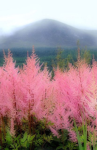 Astilbe blooming on a hillside in front of the misty Mourne Mountains, Newcastle, Northern Ireland.