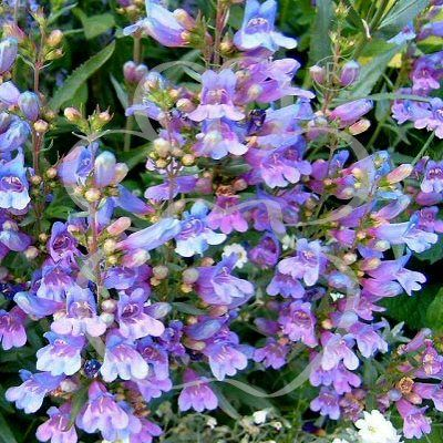 Oregano Kent Beauty Aromatic herb with Unusual Flowers Popular with Bees Butterflies 9cm Pot UK Free DELIVERY