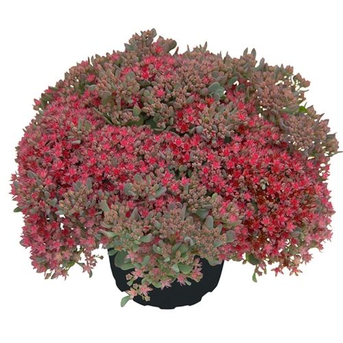 Sedum Rocky Discover The Beautiful Perennials And Graceful Grasses Grown By Santa Rosa Gardens Plants And Garden Accessories Available For Mail Orde Orquideas