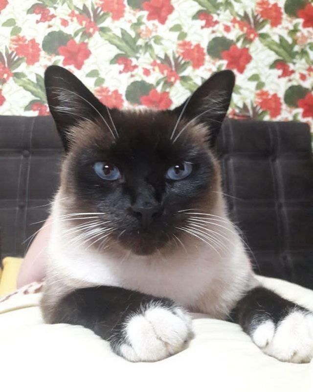 Pin On Siamese Cats Are Best