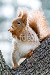 closeup of red squirrel eating nuts on a tree