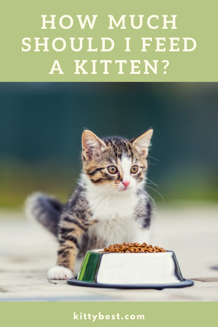 How Much Should I Feed A Kitten Kitten Kitten Food Kitten Care