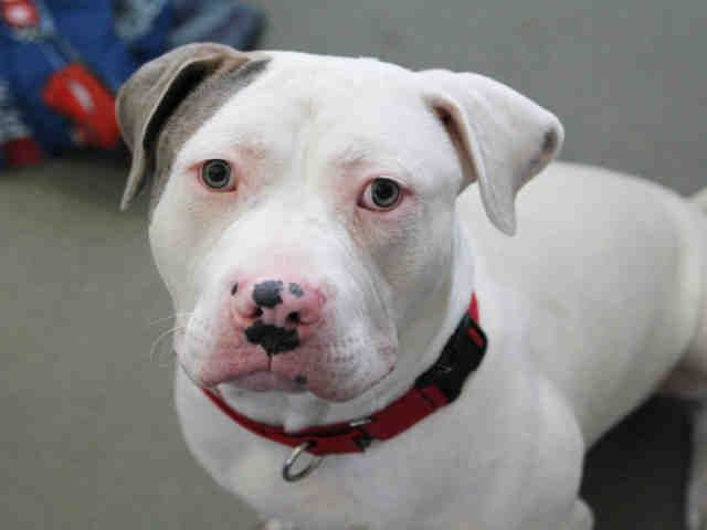 Bullypit Dog For Adoption In Pittsburgh Pa Adn 462682 On