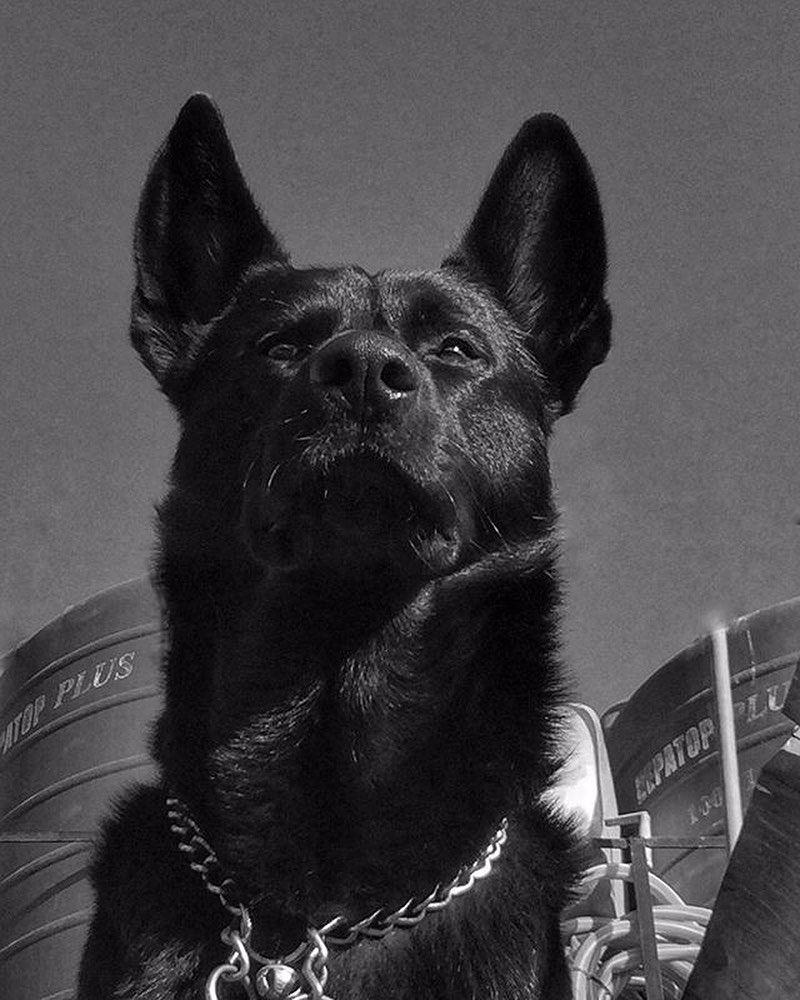 The German Shepherd Breed History. German dogs, German
