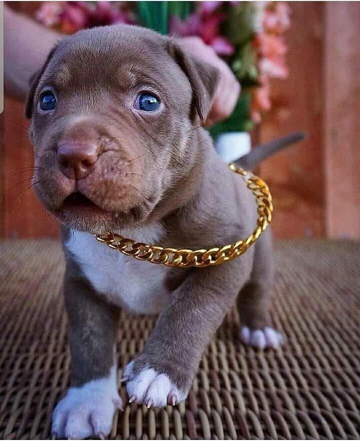 So cute😍❤ name him? | Pitbull dog puppy, Pitbull puppies, Cute puppies
