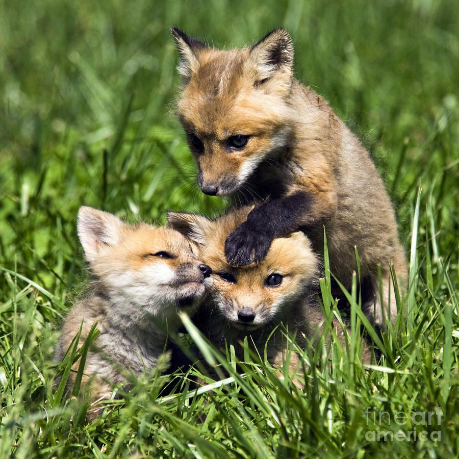 Red Fox Babies - D006647 Photograph  - Red Fox Babies - D006647 Fine Art Print