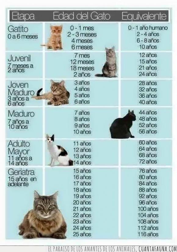 38136 Sabes Cuántos Años Tiene Tu Gato Gatos Edad De Gatos Gatos Bonitos