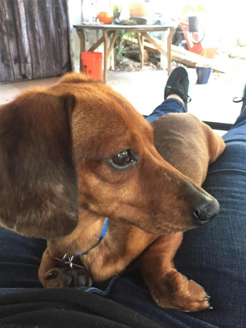 Adopt Bentley Fl On Pets I Love Dogs Dachshund