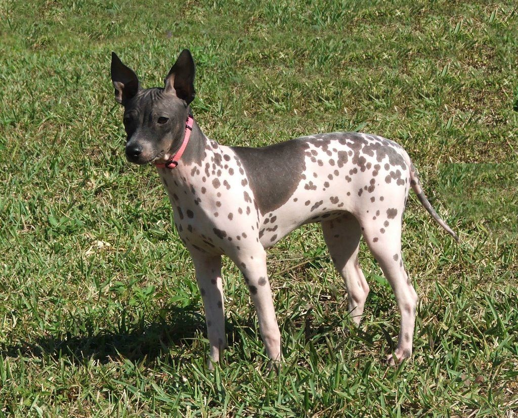 The American Hairless Terrier, in contrast to other dog