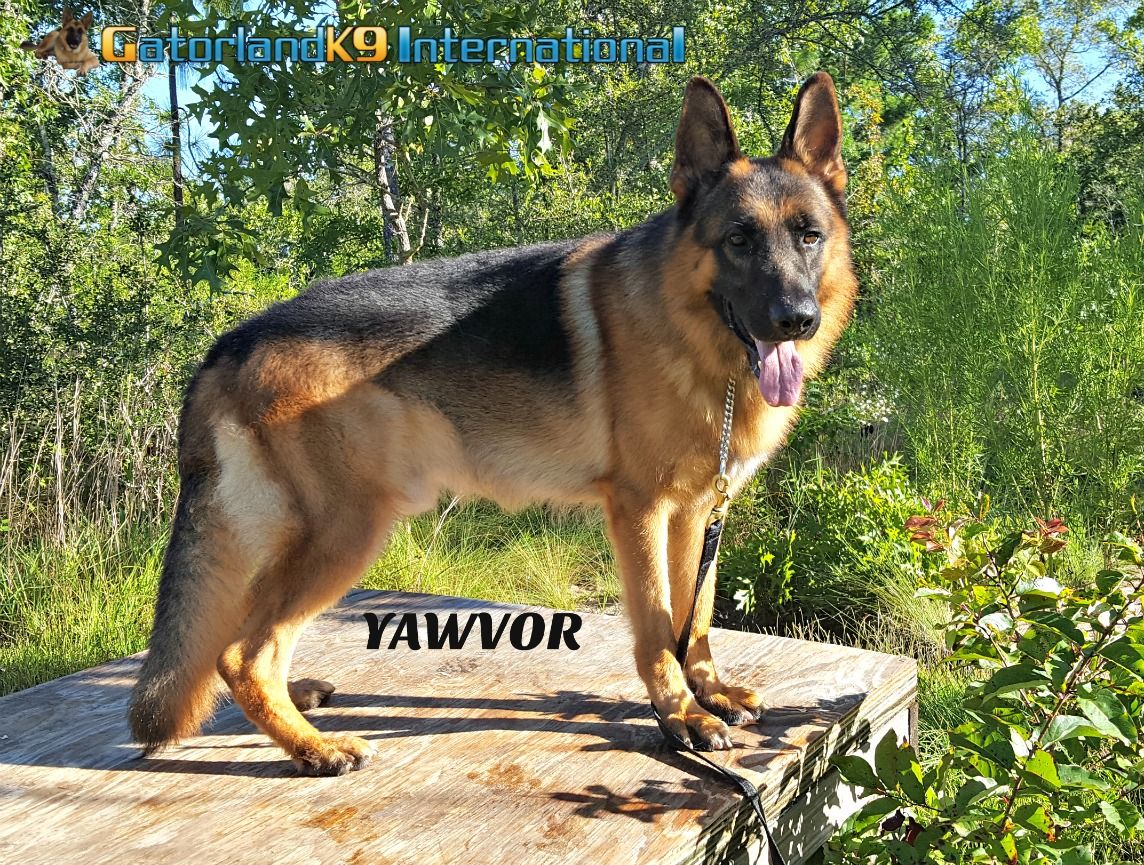 Yawvor Available German Shepherd Import Contact Ted