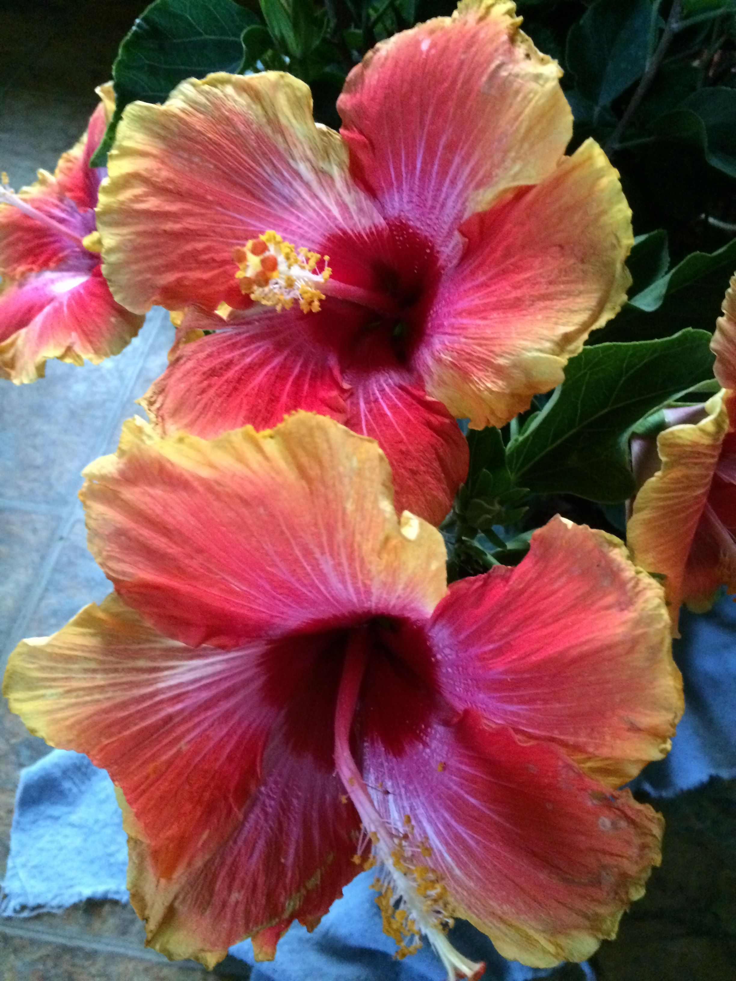 Pin By Lynne On Hibiscus Pinterest Hibiscus Exotic Flowers And