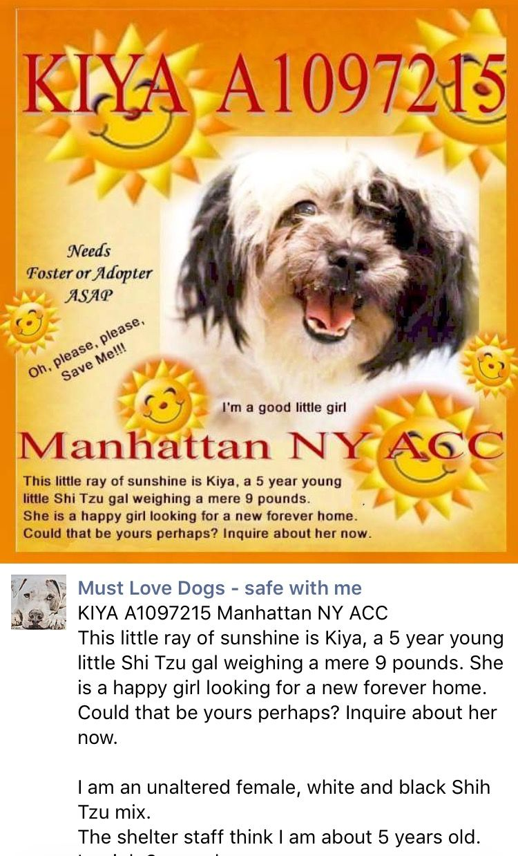 ❤️❤️ SAFE❤️❤️I am an unaltered female, white and black Shih Tzu mix. The shelter staff think I am about 5 years old. I weigh 9 pounds. I was found in NY 10467. I have been at the shelter since Nov 18, 2016.  https://www.facebook.com/mldsavingnycdogs/photos/a.474976352688640.1073742044.112453902274222/476250979227844/?type=3&theater#