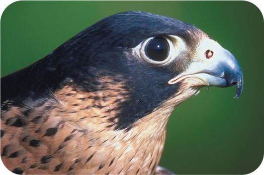 4 Types Of Falcons Species With Pictures Falcons Tattoo And Kestrel