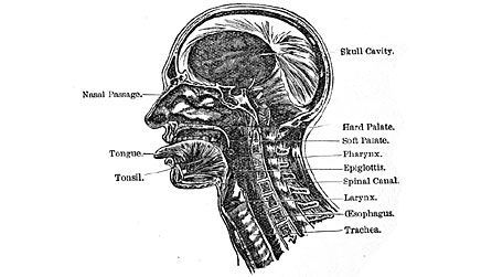 Singers are Athletes of the small muscles of the Voice and Breathing. Know your instrument.