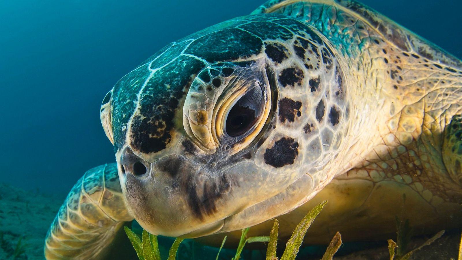 Sea turtle 1 Wallpaper in 1600x900 I Love Sea Turtles
