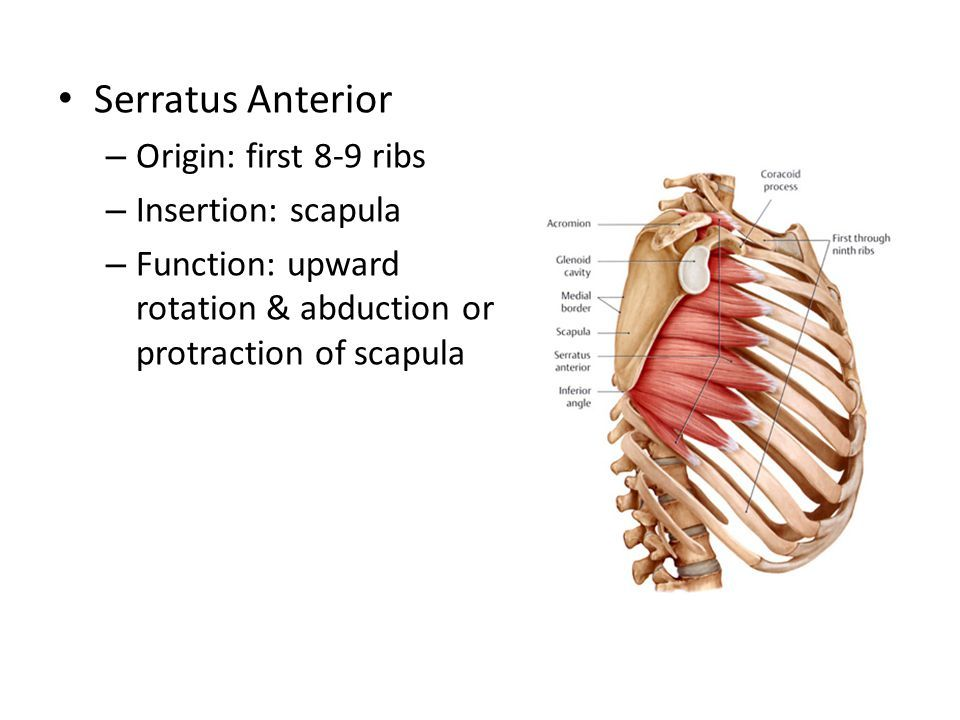 serratus anterior origin and insertion - Google Search   Human anatomy and  physiology, Anatomy education, Massage therapy