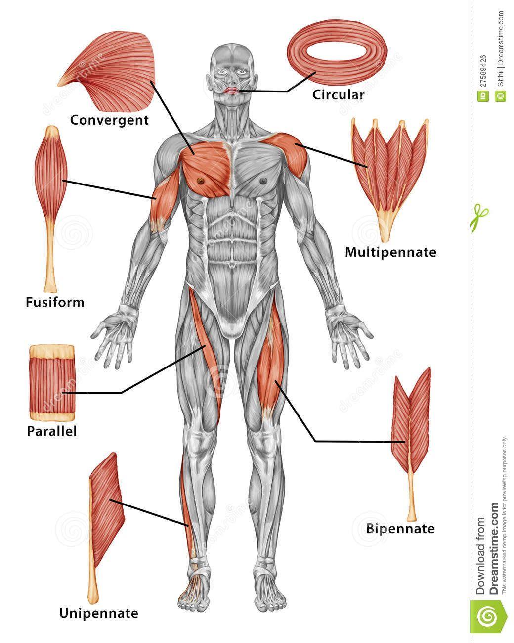 Anatomia Anatomia Del Esqueleto Anatomia Humana Musculos