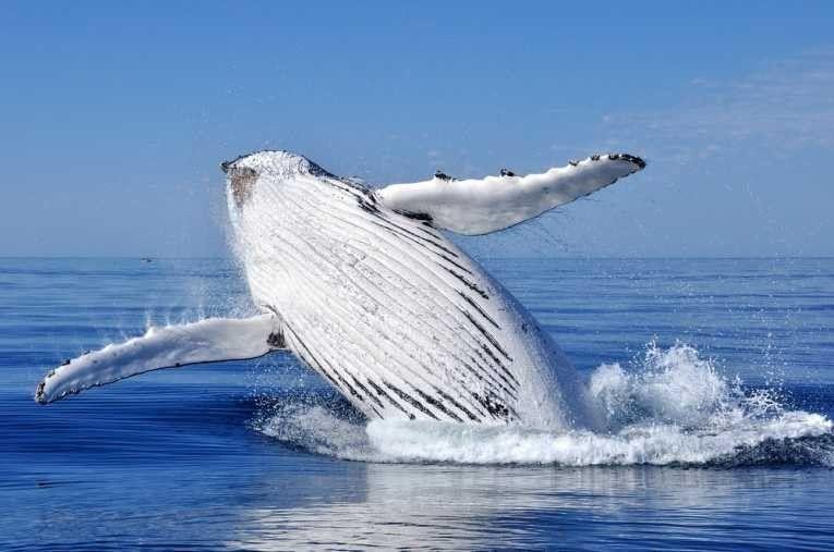 White humpback