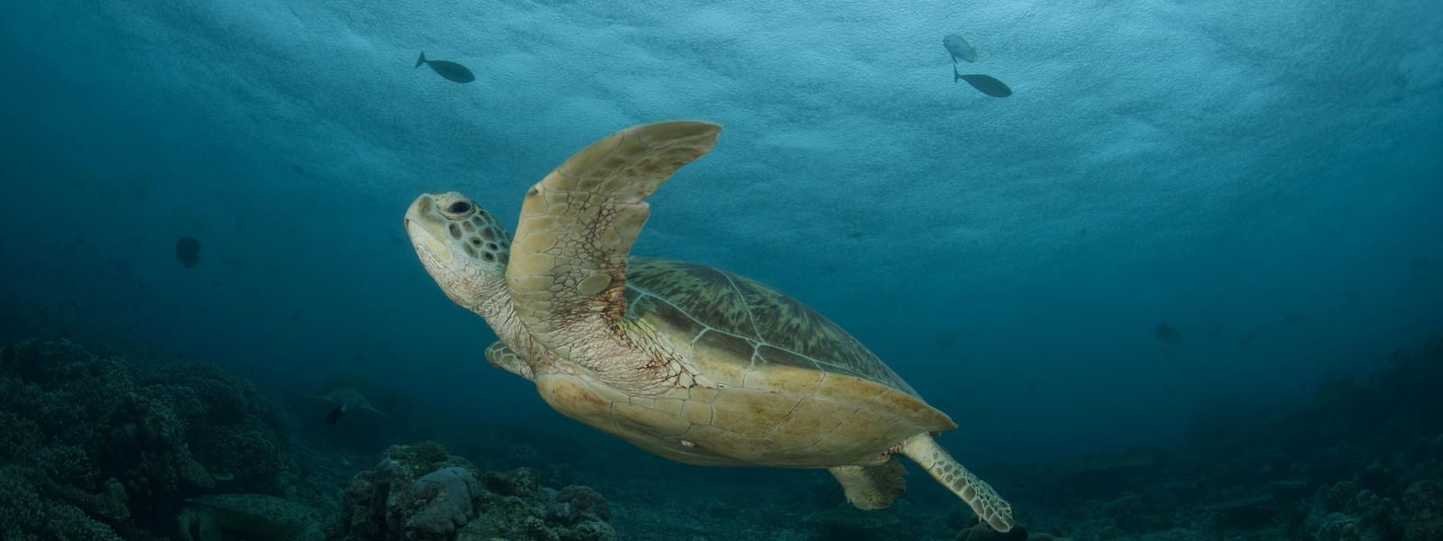 Learn About The Green Sea Turtle As Well As The Threats This