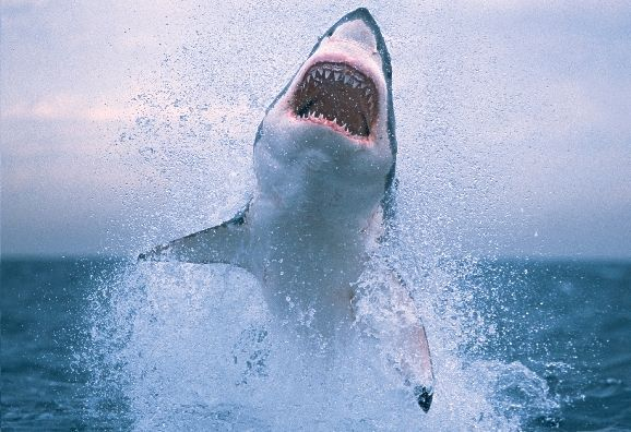 Shark Week Music Playlist Great white shark, Shark