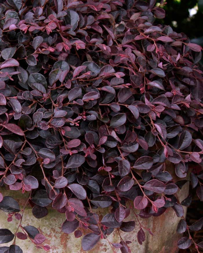 Loropetalum 'Purple Pixie' dwarf size and weeping habit. It grows only 1 to 2 feet tall by 4 to 5 feet wide. Showy pink flowers combined with rich purple foliage.  Exposure full sun to part shade. Moderate to fast growth.