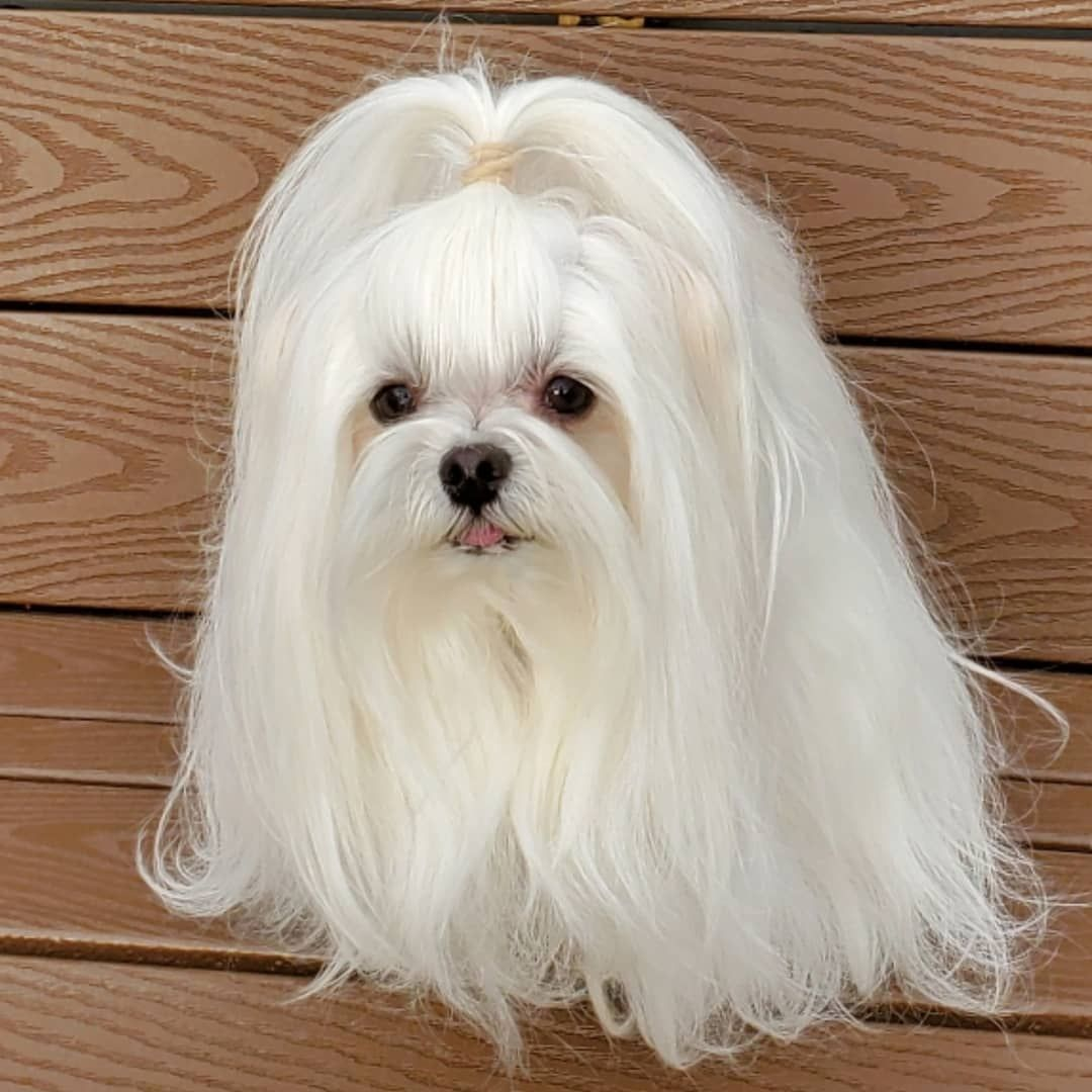10 Healthiest Dog Breeds That Don T Shed Healthiest Dog Breeds