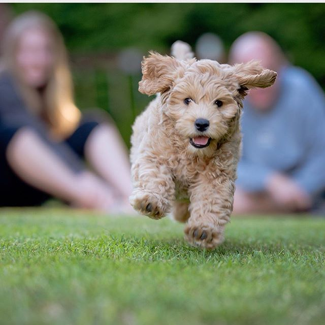 """""""Hi I'm Paisley! I am a 2 month old Australian labradoodle! I love to play as you can tell!"""" writes @_.paisleythelabradoodle._  #dogsofinstagram #dog"""