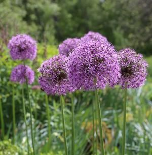 Alliums Are Decorative Members Of The Onion Family These Easy Care Flower Bulbs Are Deer And Rodent Resistant And Bulb Flowers Outdoor Flowers Annual Flowers