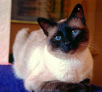 Siamese The Traditonal Applehead Not The Wedgehead Cat Breeds Cats And Kittens Beautiful Cats