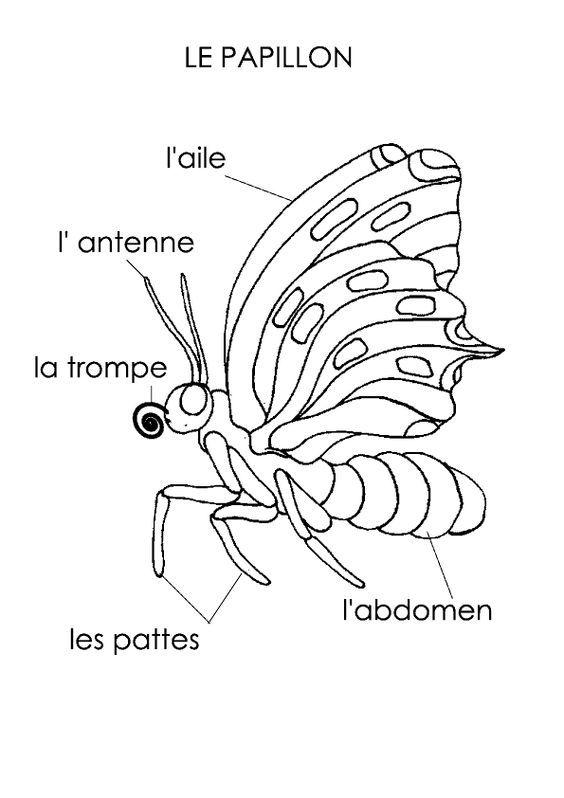 R sultats de recherche d 39 images pour papillon anatomie - Papillon maternelle ...