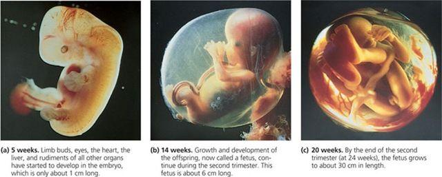 Stages Of Fetal Development Fetal Development Stages Of Fetal